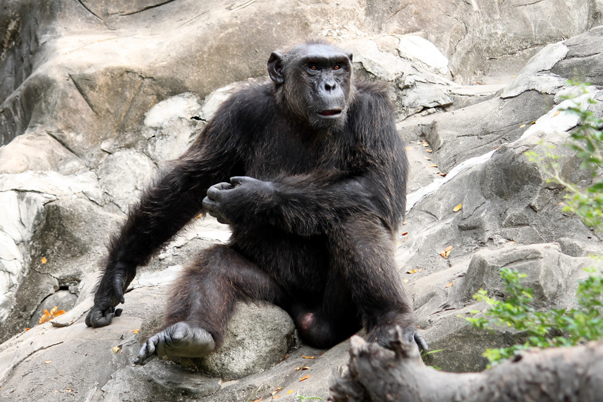 ゴリラ@ドゥシット動物園
