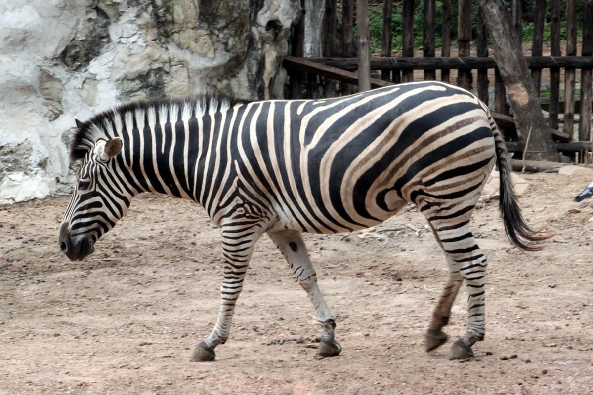 シマウマ@ドゥシット動物園