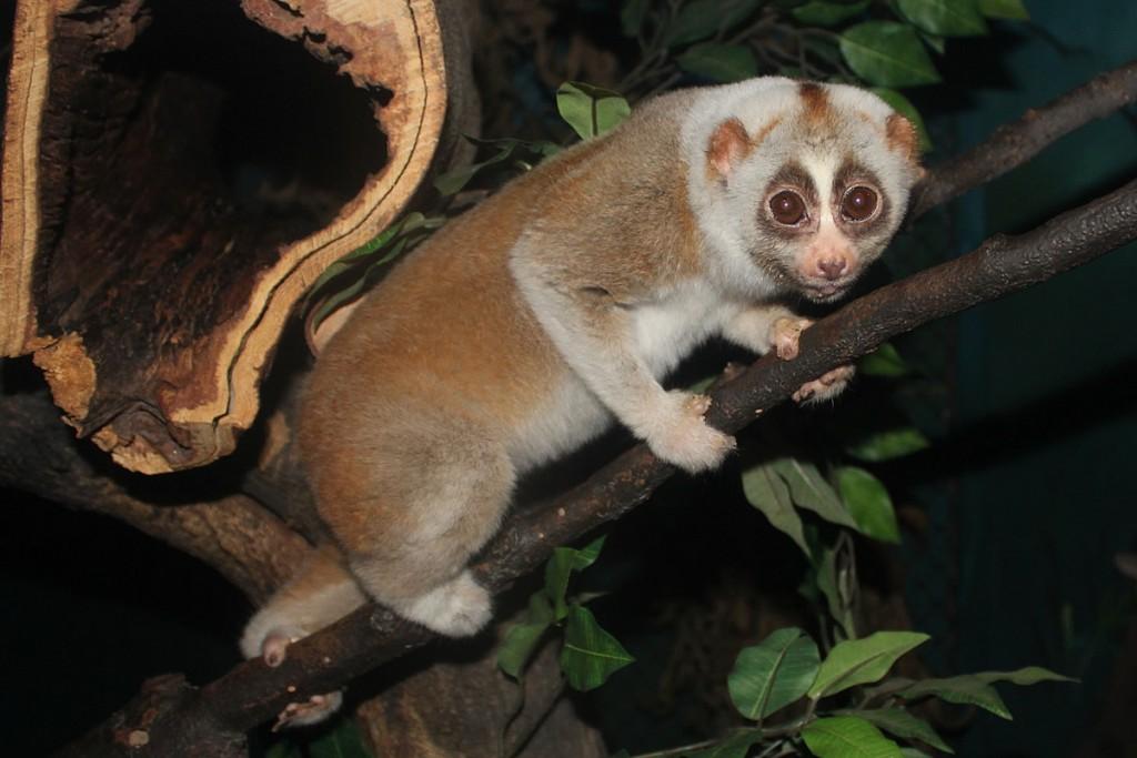 ベンガルスローロリス Bengal Slow Loris
