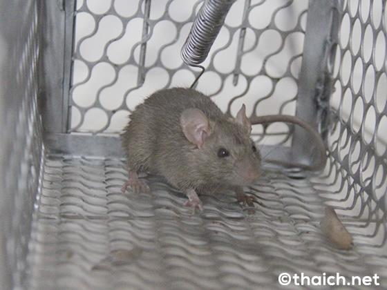 タイのネズミ捕り、餌を仕掛けて捕えて逃がす