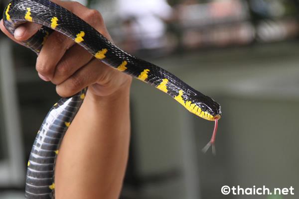 「スネークファーム」で大蛇と触れ合う