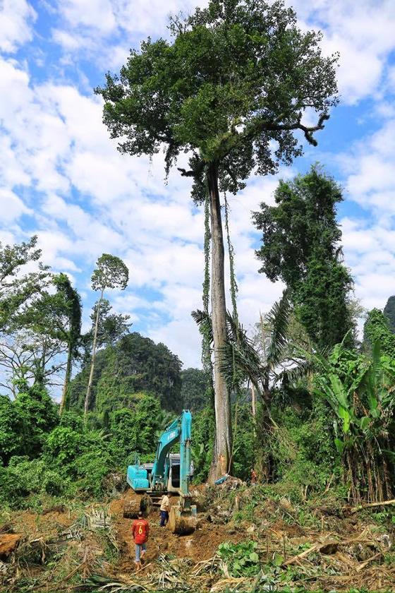 タイ・クラビで樹齢143年の大木を日本人芸術家らが伐採し批判殺到!