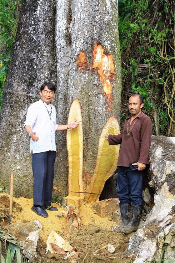 タイ・クラビで樹齢143年の大木を日本人が伐採し非難殺到!「これは芸術だ!」