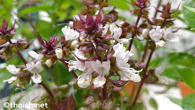 ホーラパーの花