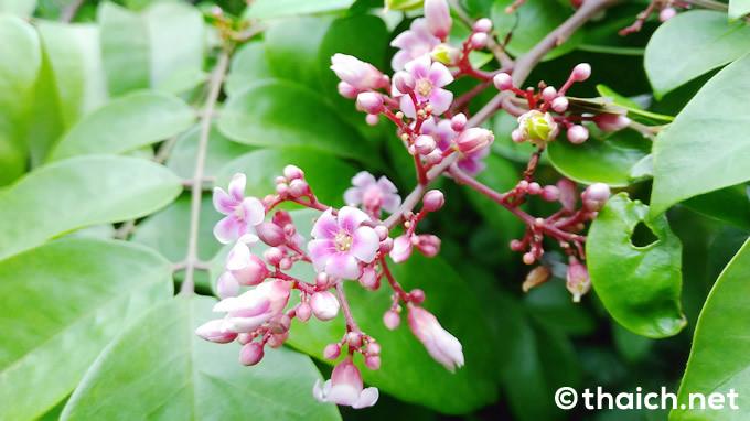 小さいピンク色のスターフルーツの花