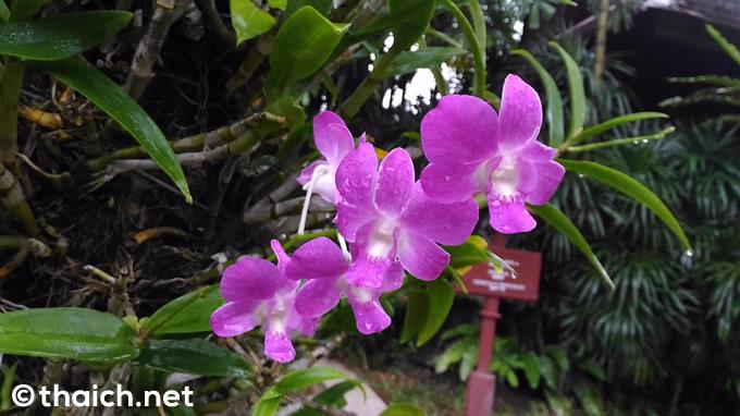 サムイ島「チャウエン リージェント」の庭に咲く花