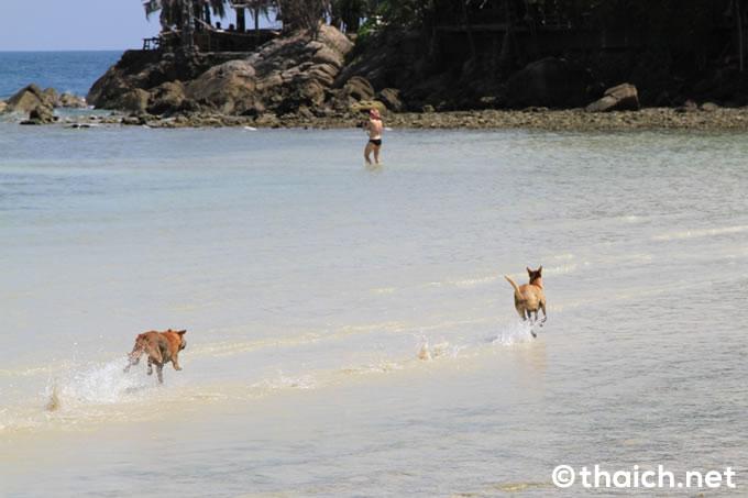 パンガン島ハードソンの犬たち