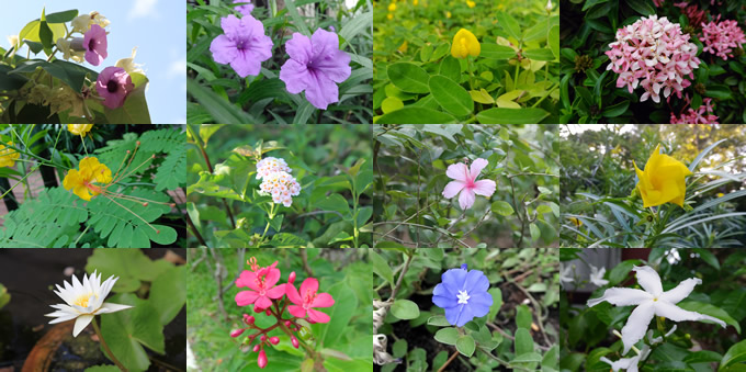 サムイ島で見る色とりどりの南国タイの花