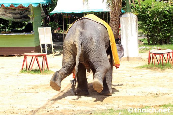 サムットプラカーン・クロコダイルファームの象さん 逆立ち