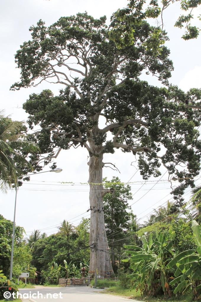 パンガン島で一番の大木「ヤーンナーヤイ」