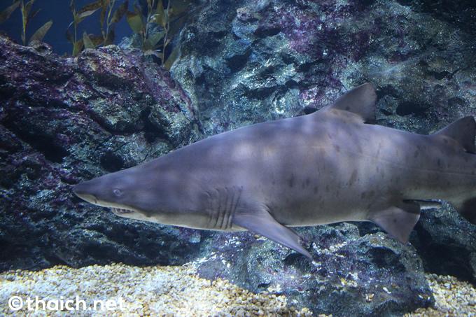 オーシャン・トンネルのサメ