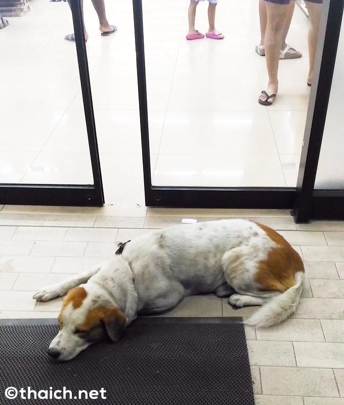 服喪中の自動ドア前で涼むセブンイレブン犬
