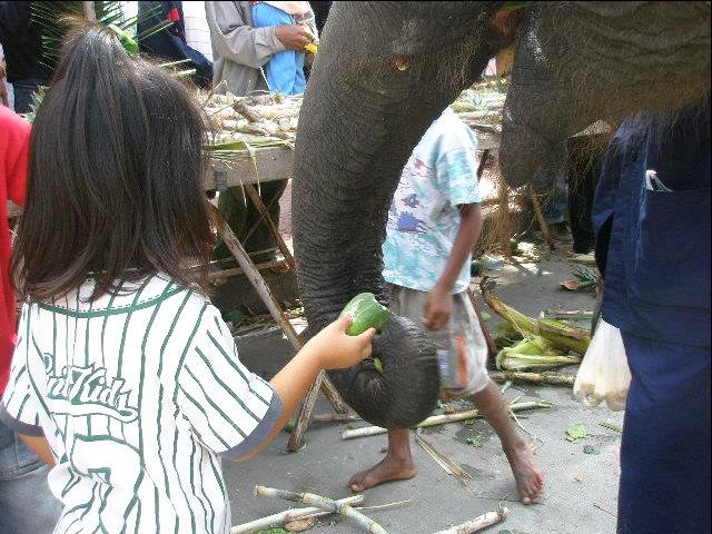 タイにお祭りは数あれど、私のイチオシは何と言っても「スリンの象祭り」!