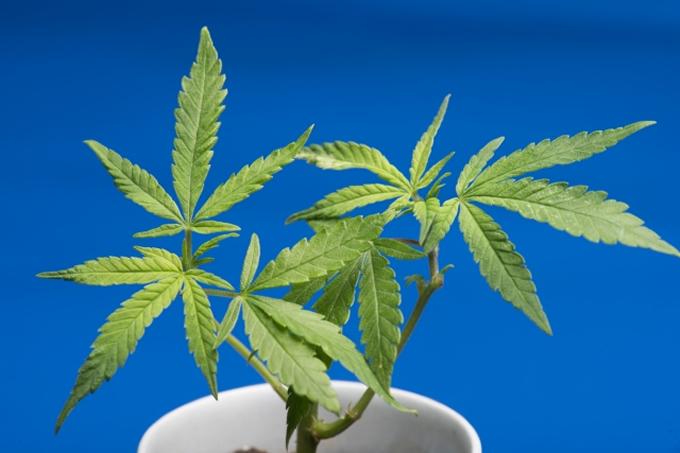 タイで医療大麻解禁へ