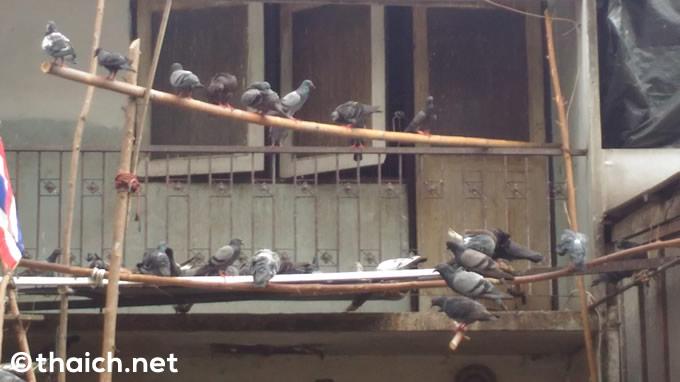 バンコクで「ハトの餌やり」取り締まり強化へ