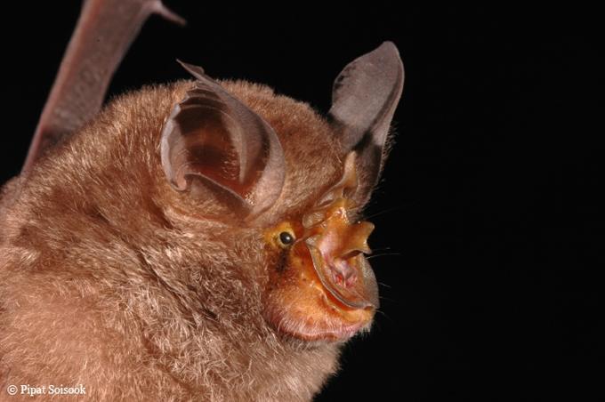 顔が蹄鉄の形をしたコウモリ(Rhinolophus monticolus)
