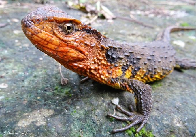 ベトナムシナワニトカゲ(Shinisaurus crocodilurus vietnamensis)