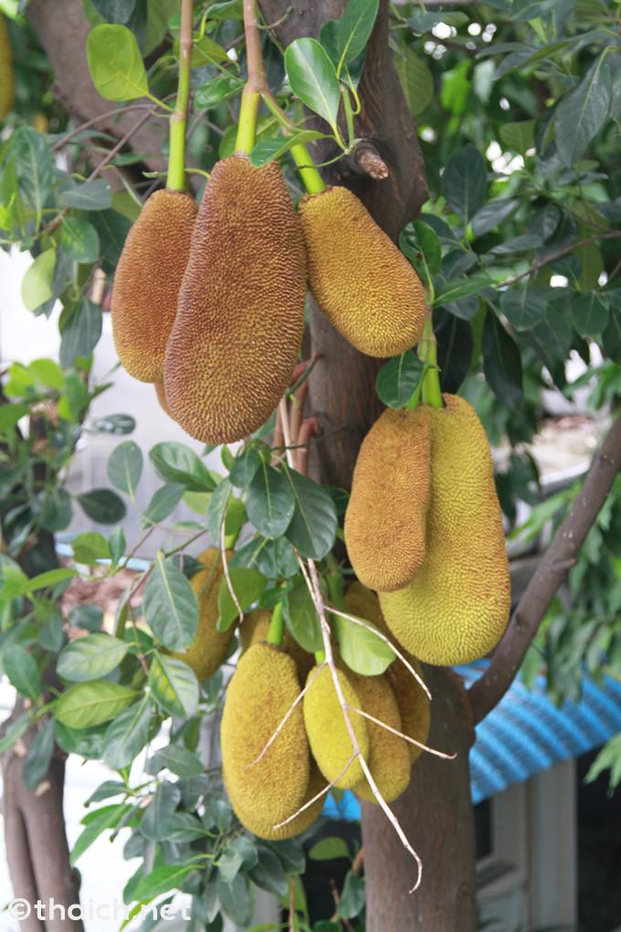 大都会バンコクの街中で超巨大果実ジャックフルーツが鈴なり
