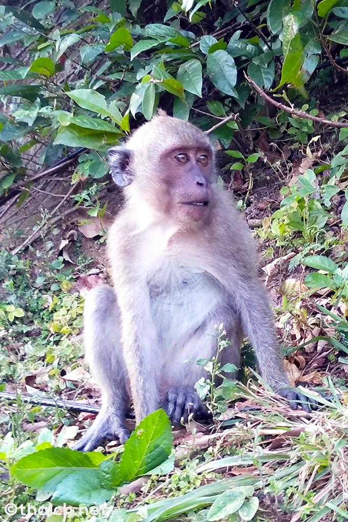 パタヤでドリアンや卵を盗んだ猿を捕獲(動画あり)