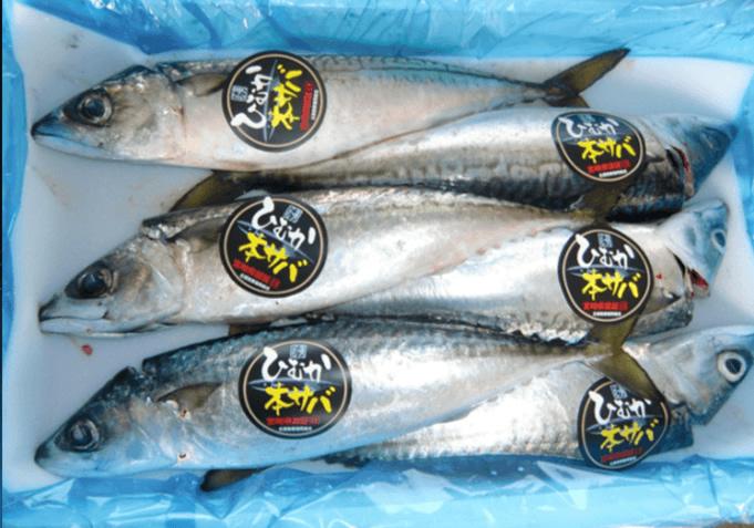 宮崎県のブランド魚「ひむか本サバ」をタイへ輸出
