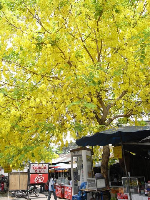 最も暑い3、4月は花の季節でもある。タイの国花ラーチャプルックの花が光り輝く。(撮影:古川節子/橋口哲郎)