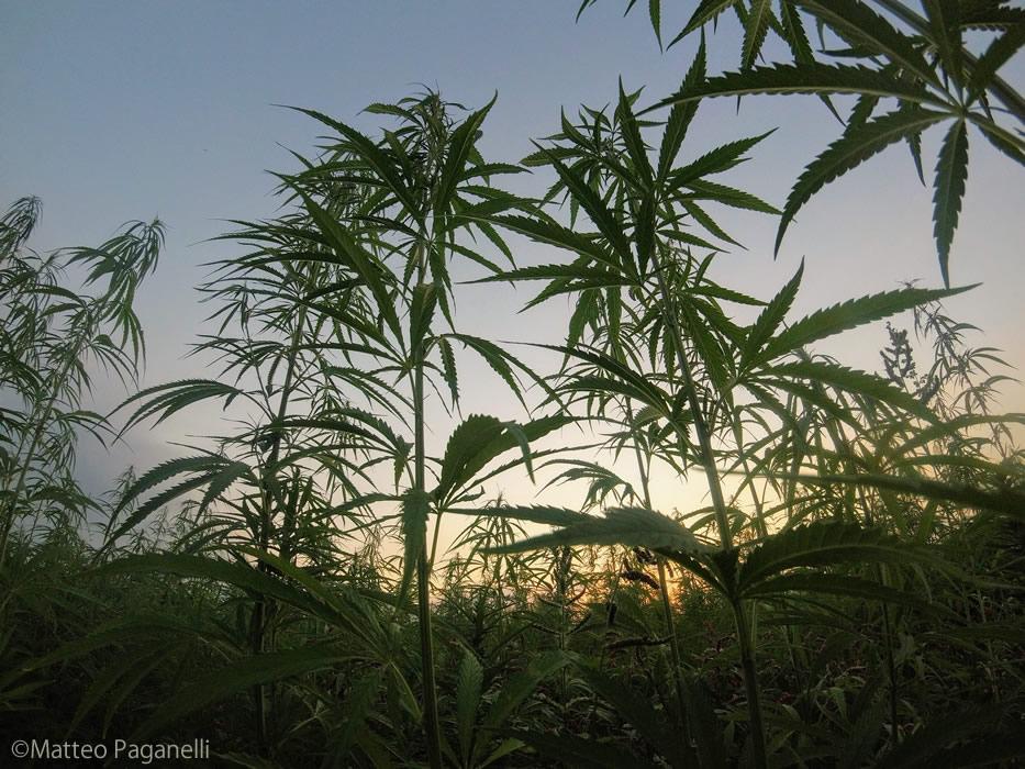 畑で大麻を1,200本栽培、刈り取り後に逮捕