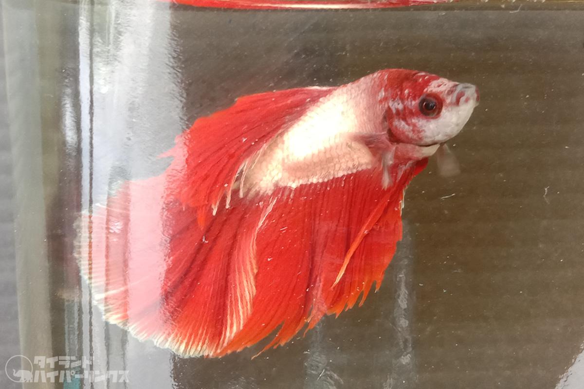 色鮮やかな美しきタイの闘魚「プラーカット」