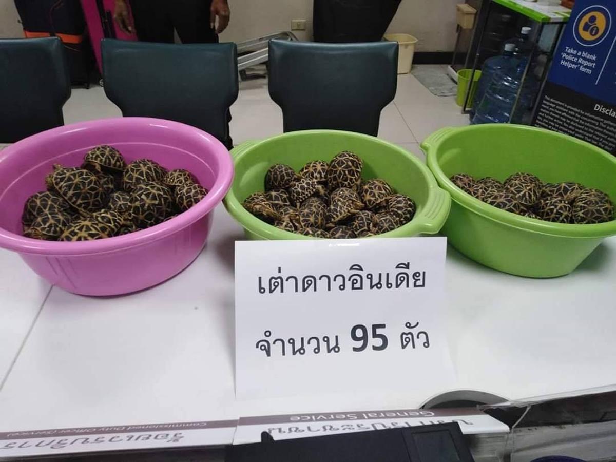 インドホシガメ95匹をトランクに隠す、出国前の台湾人夫婦をドンムアン空港で逮捕