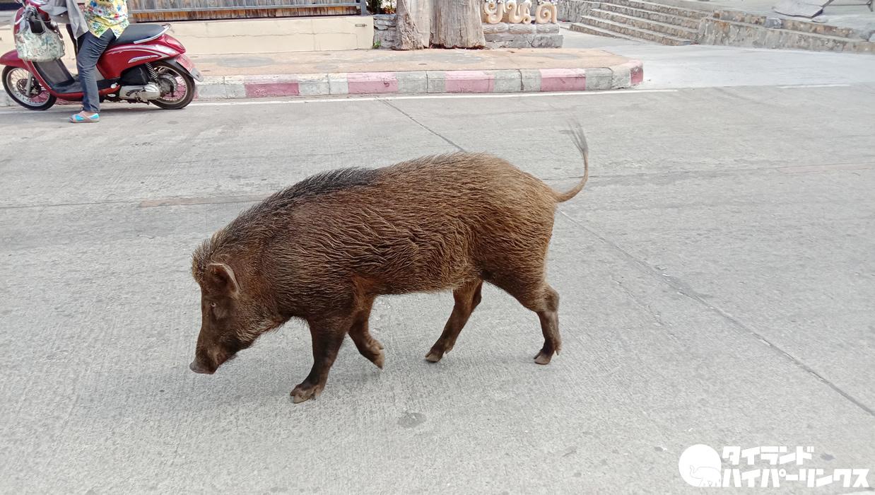 シーチャン島ではイノシシが普通に道路を歩いている(笑)