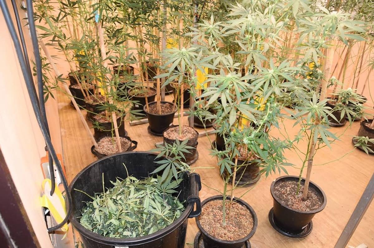 大麻の栽培・販売で12人逮捕、LINEで顧客を募り配達
