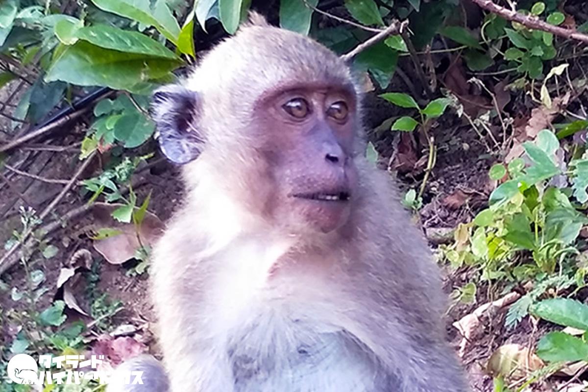 犬殺しの猿、パタヤ近郊で捕獲