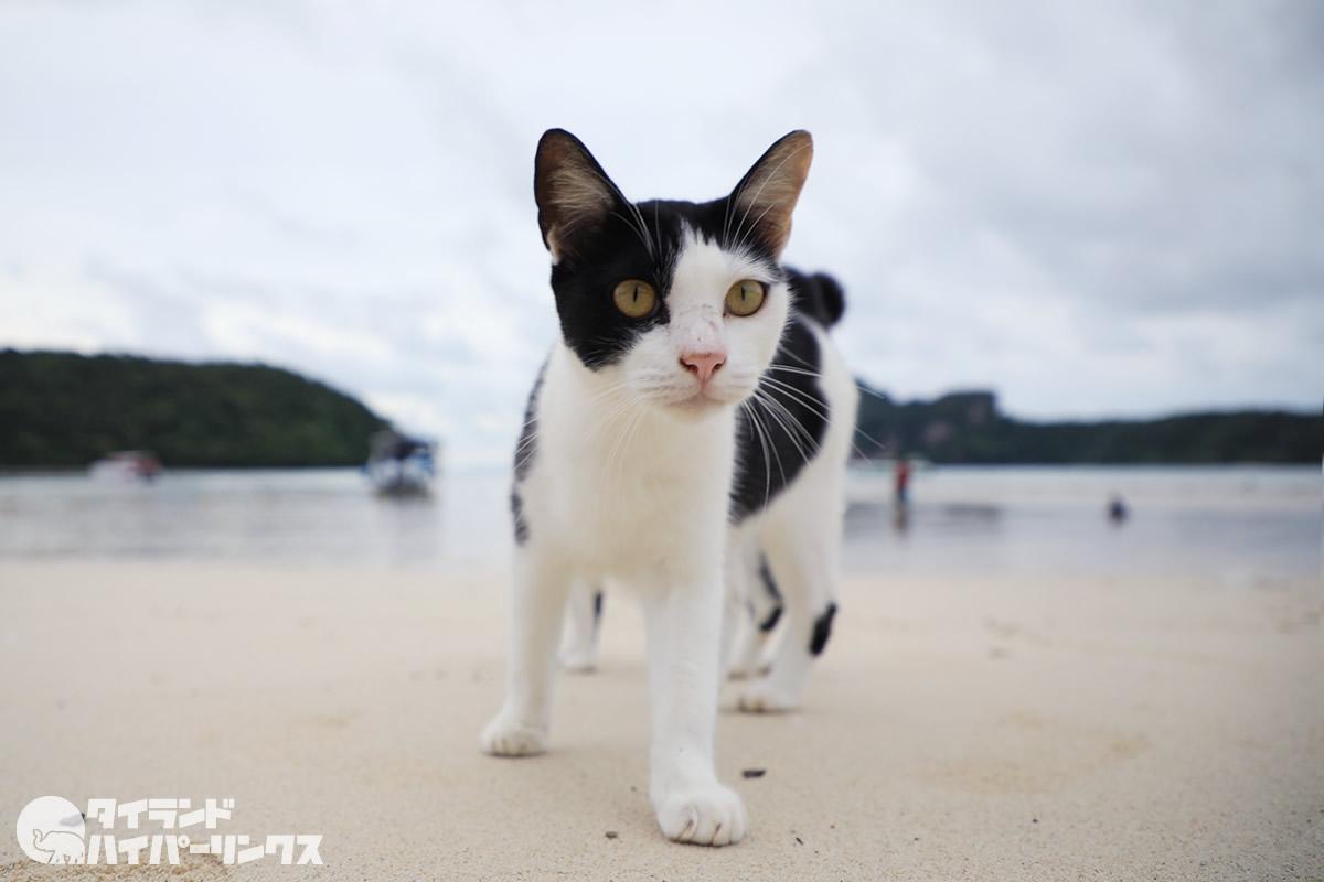 ピピ島は猫の島~ビーチ猫・コンビニ猫・あくび猫・猫xトカゲ