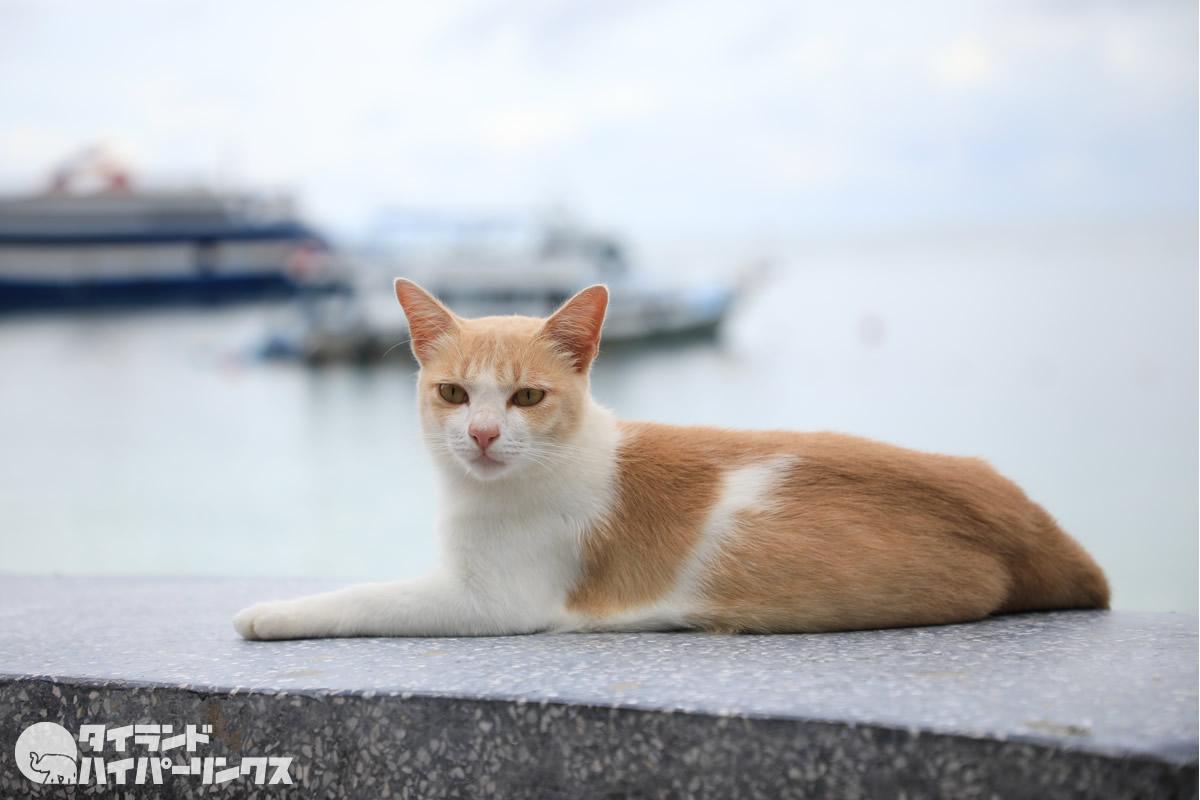 ピピ島に取り残された1000匹以上の猫たち、餌不足で寄付求む