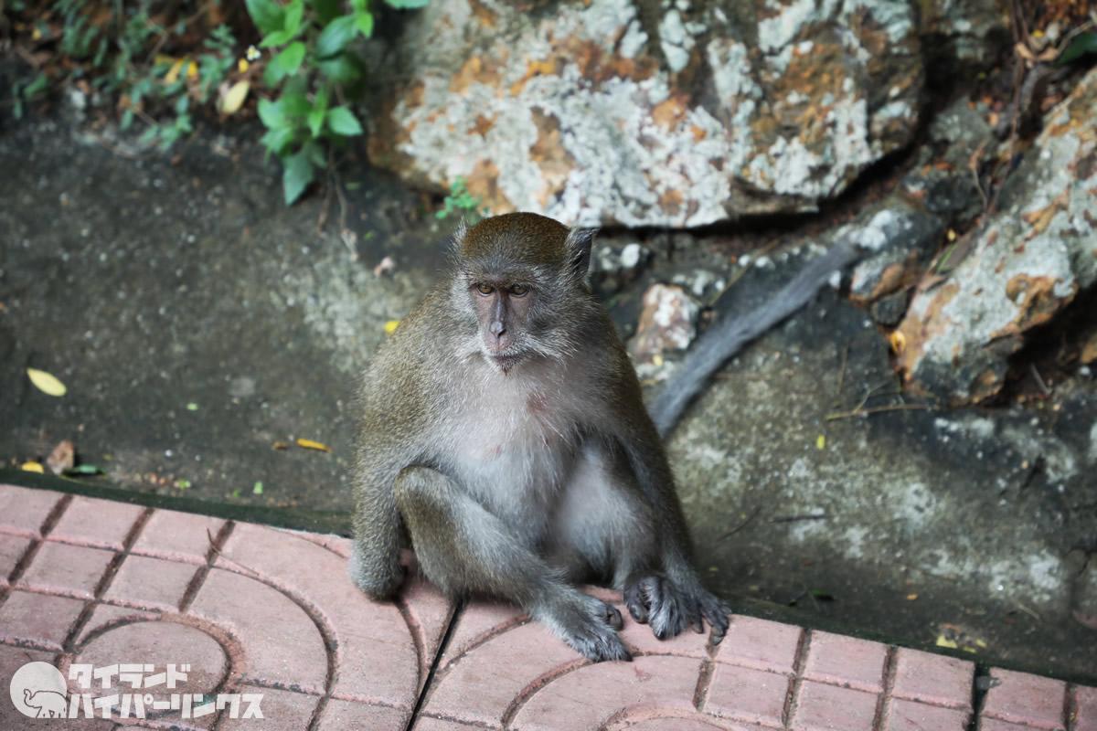 ピピ島で親子の猿に出会った~父猿はデカくてゴリラみたいな体型