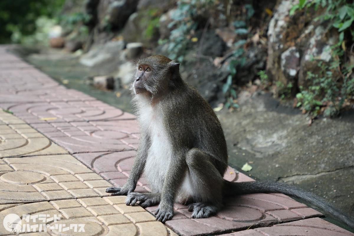ハジャイ・カオタンクアンの猿200匹に去勢手術、さらに200匹も