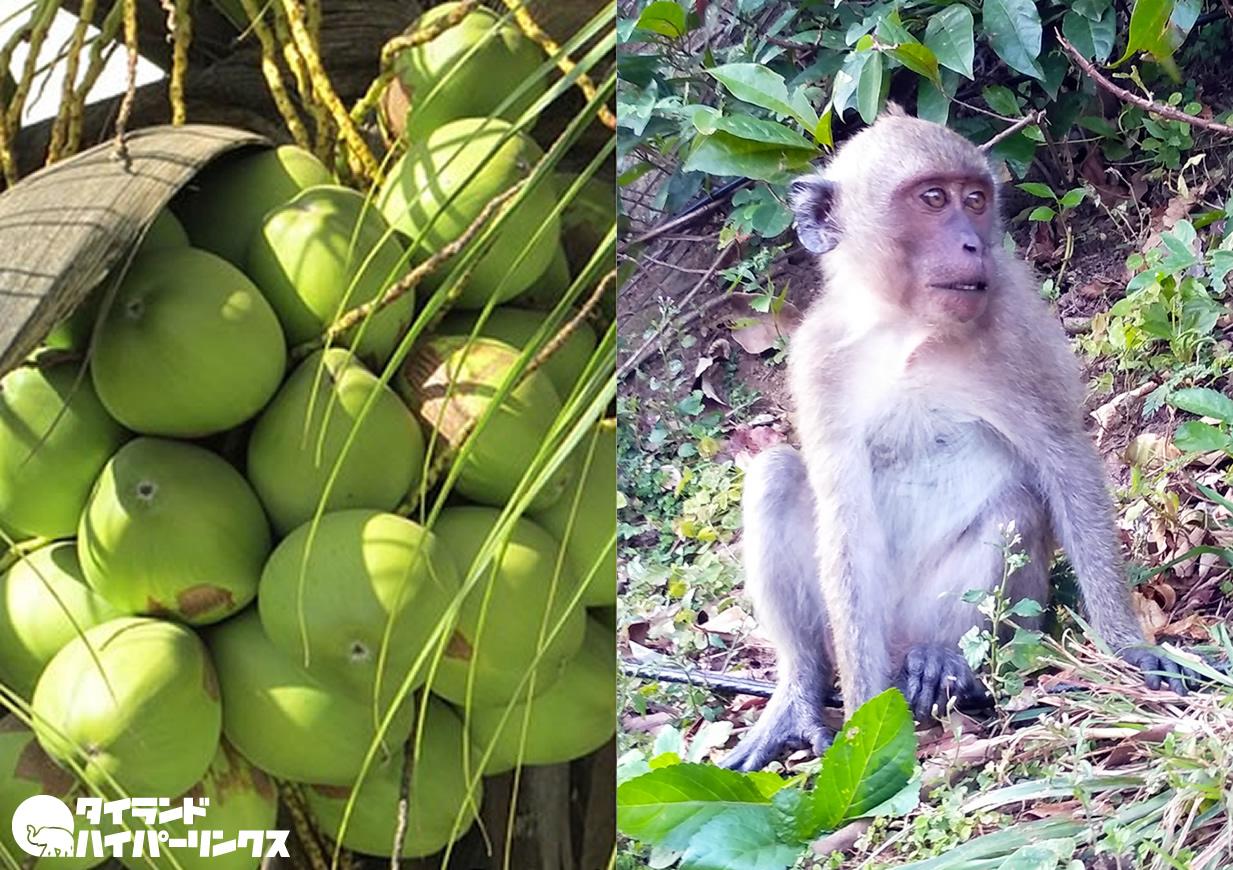 猿が収穫したココナッツのボイコット広がる、コストコも販売中止とPETAが報告