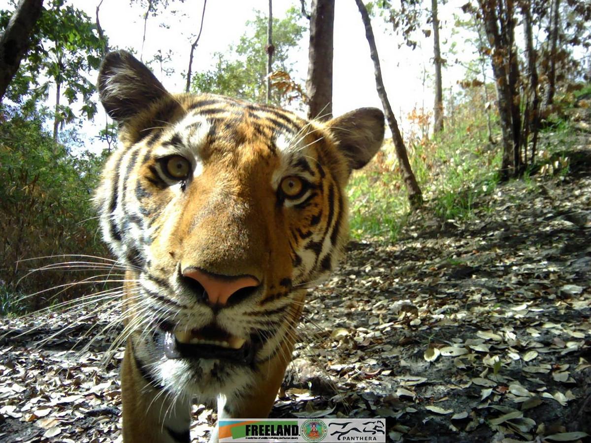 野生のトラがカメラを覗き込む写真公開~カンチャナブリ県カオレム国立公園