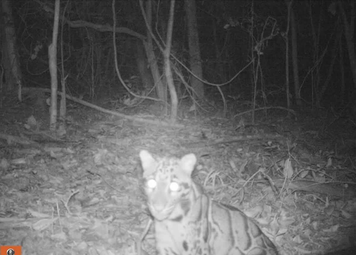 ウンピョウ<雲豹>が撮影される、タイ・ダンレク山地で