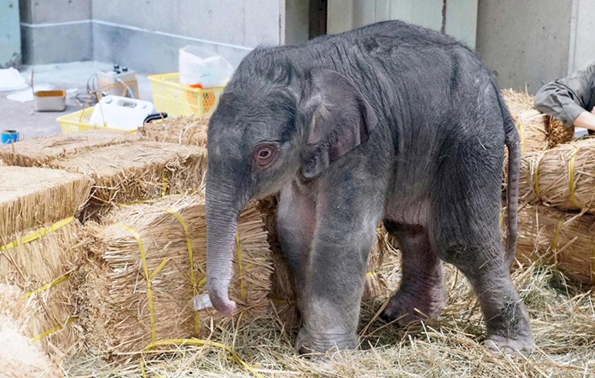 上野動物園でゾウの赤ちゃん誕生、父も母もタイ生まれ