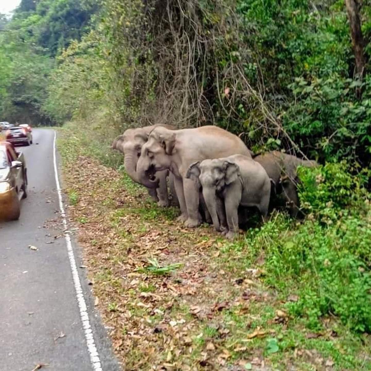 ゾウの道路横断「右を見て 左を見て もう一度右を見て」