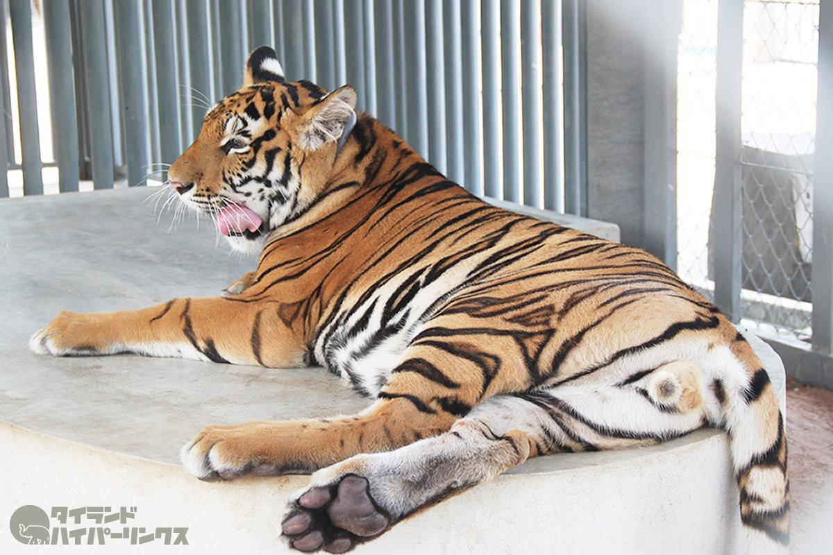 タイには177頭のインドシナトラが生息