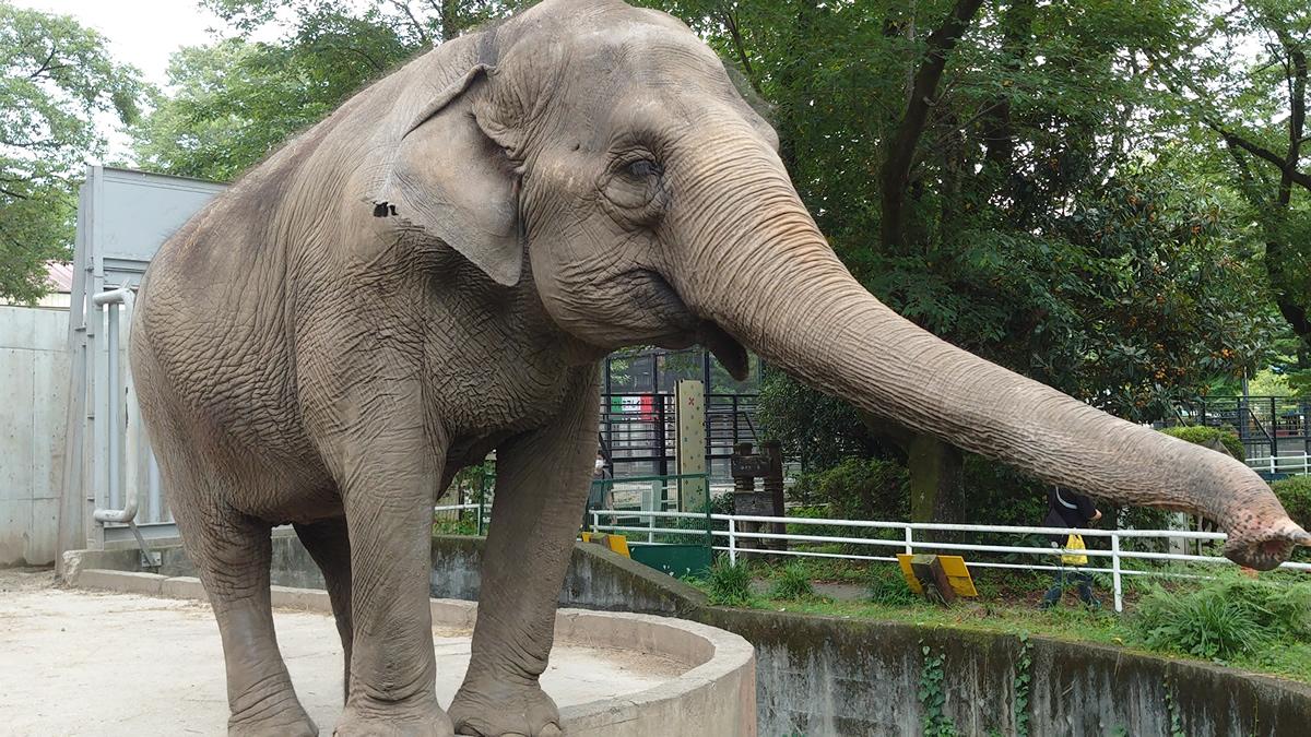 宇都宮動物園、タイ出身のゾウの宮子に48歳の誕生日プレゼントを贈りたい!