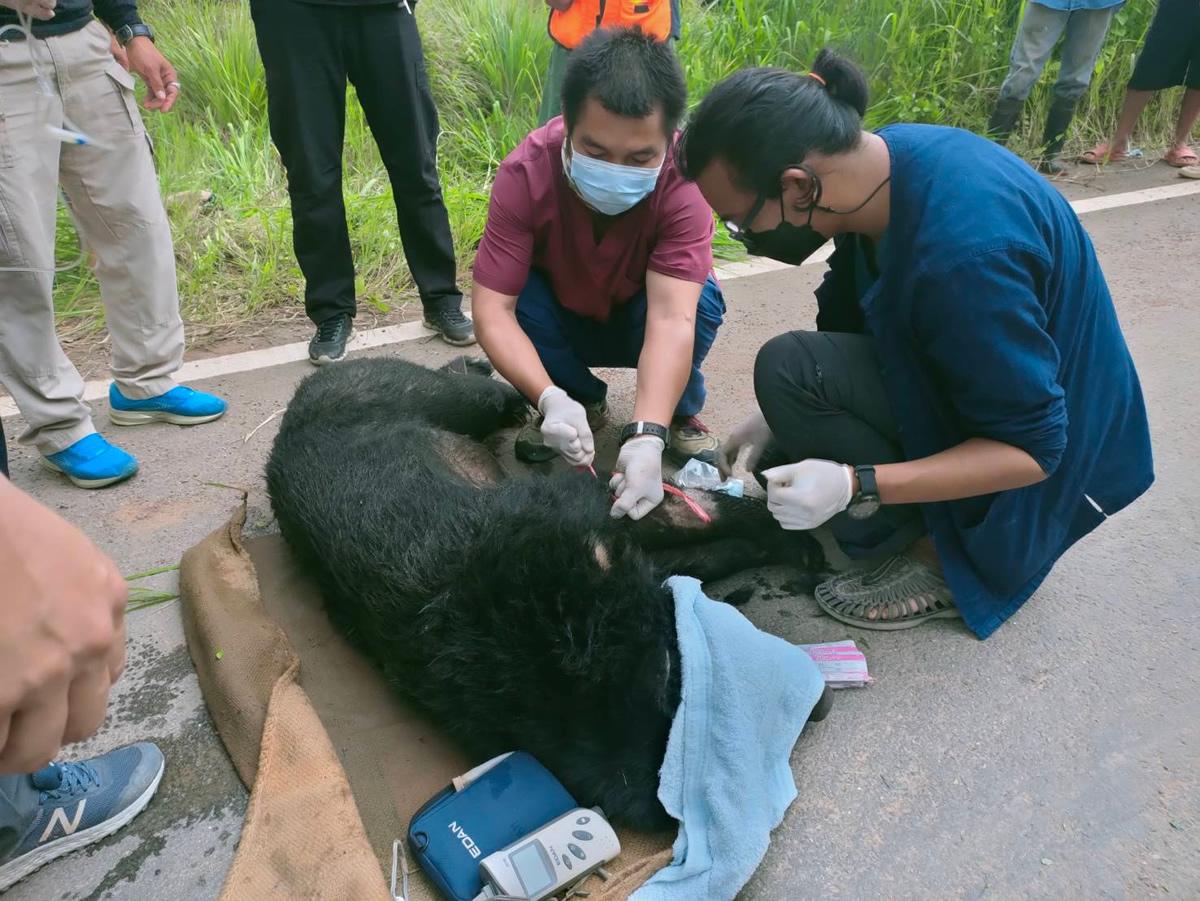 タイの村にツキノワグマが出現、視力が悪く飼育