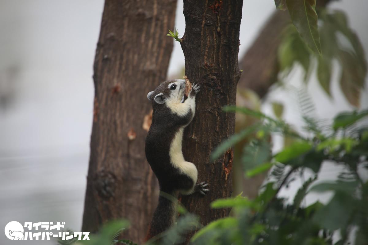 バンコクで見かける哺乳類ランキング第4位はリス?