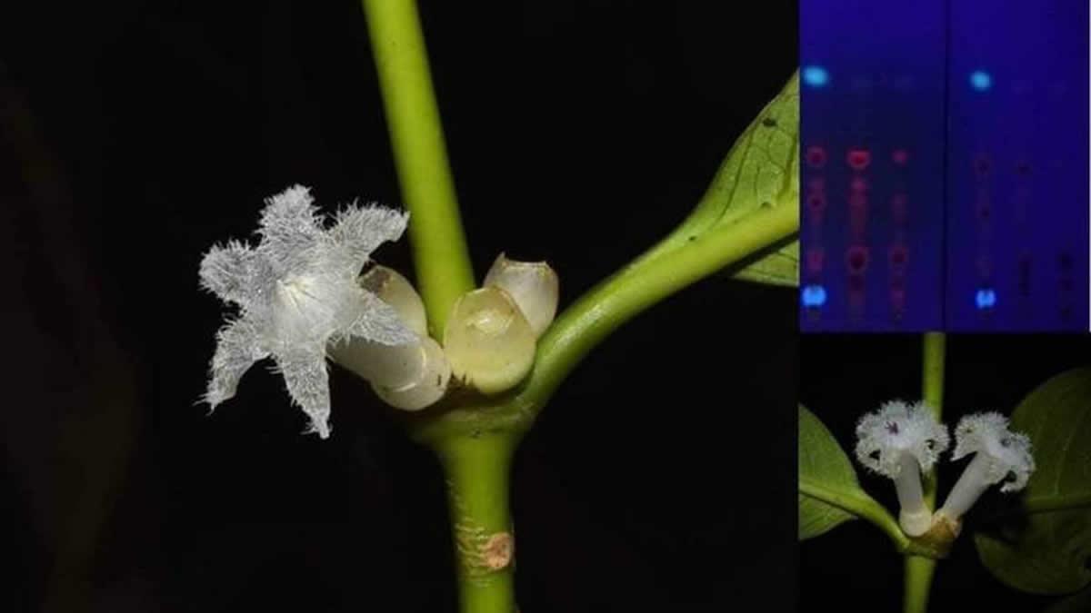 タイで発見、新種のカワイイ星の花「Lasianthus ranongensis Sinbumroong & Napiroon」