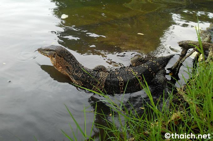 あのオオトカゲがバンコクのルンピニ公園から消える?